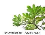 frangipani  leaf tree white... | Shutterstock . vector #722697664