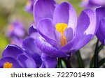 beautiful first spring flowers... | Shutterstock . vector #722701498