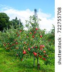 red ripe apples hanging on... | Shutterstock . vector #722755708