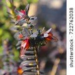 wildflower darwinia citriodora  ... | Shutterstock . vector #722762038