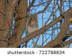 Wild Gray Squirrel  Sciurus...