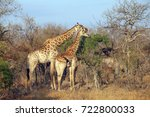 southern african giraffe in the ... | Shutterstock . vector #722800033