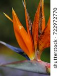 closeup bird of paradise flower