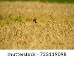 small birds in rye | Shutterstock . vector #723119098
