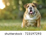 english bulldog | Shutterstock . vector #723197293