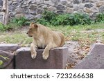 The Lioness Lies On A Rock