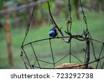 a blue dacnis sits on the rim... | Shutterstock . vector #723292738