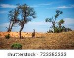 Grey Kangaroos In Mungo...