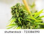 marijuana plants in a legal... | Shutterstock . vector #723386590