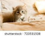 Stock photo natural lighting and shadow of blur newborn persian maine coon kitten on blanket newborn concept 723531538