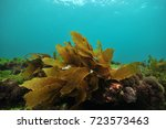 small frond of brown kelp... | Shutterstock . vector #723573463