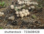Small photo of Lycoperdon pyriforme, commonly known as the pear-shaped puffball or stump puffball, is a saprobic fungus present throughout much of the world.