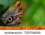 Owl Butterfly With  Colorful...