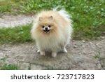 adult orange pomeranian spitz... | Shutterstock . vector #723717823
