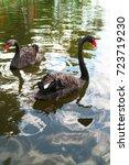 black swan are swiming       ... | Shutterstock . vector #723719230