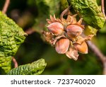 A macro shot of a cluster of hazelnuts hanging from the branches of a twisted hazel tree.