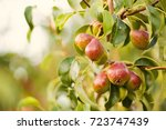 Ripening Pears On A Tree