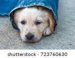 golden retriever dog puppy in... | Shutterstock . vector #723760630