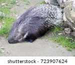 indian crested porcupine ... | Shutterstock . vector #723907624
