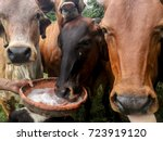 cows in the field eating salt  ... | Shutterstock . vector #723919120