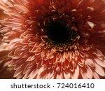 beautiful pink gerber daisy .... | Shutterstock . vector #724016410