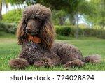 Portrait Of A Standard Poodle...