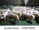industrial pig farm for... | Shutterstock . vector #724079650