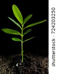 Small photo of Freshness green leaves of Alexandrian laurel young plant sapling in black soil