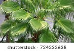 top view of green leave of palm ... | Shutterstock . vector #724232638
