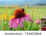Bumblebee Pollinating Pink...