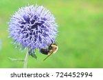 Honey Bee Pollinating Echinops...