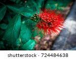 Red Bush Willow Flower  Flower...
