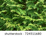 Branches Of Evergreens Thuja...