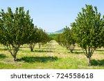 hazel cultivation from langhe... | Shutterstock . vector #724558618