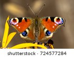 Easter Peacock Butterfly...