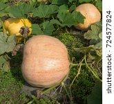 Small photo of Home Grown Organic Pumpkin or Winter Squash 'Dill's Atlantic Giant' (Cucurbita maxima) on an Allotment in a Vegetable Garden in Rural Devon, England, UK