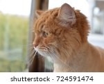 beautiful haired ginger cat... | Shutterstock . vector #724591474