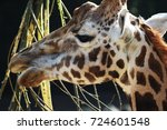 rothschild's giraffe  giraffa...   Shutterstock . vector #724601548