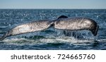 tail of the humpback whale....   Shutterstock . vector #724665760