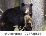 female Black Bear Ursus americanus with a brown cub along Robert Campbell Highway, near Watson lake, Yukon, Canada