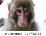 Japanese Macaque Monkey Taken...