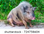 fat wild boar looking at camera. | Shutterstock . vector #724758604