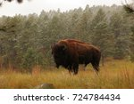 An American Bison Stands In A...