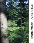 Small photo of Trunk of silver fir tree in Pyrenees, Abies alba