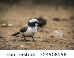 Small photo of White-crowned shrike in Kruger national park, South Africa ; Specie Eurocephalus anguitimens family of Laniidae