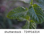 green peppermint plant in the... | Shutterstock . vector #724916314