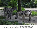 Zebra In Singapore Zoo