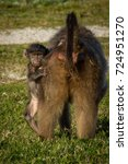 a baby chacma baboon clings to... | Shutterstock . vector #724951270
