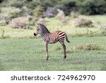 zebra colt | Shutterstock . vector #724962970