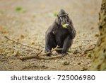 monkey in sulawesi | Shutterstock . vector #725006980